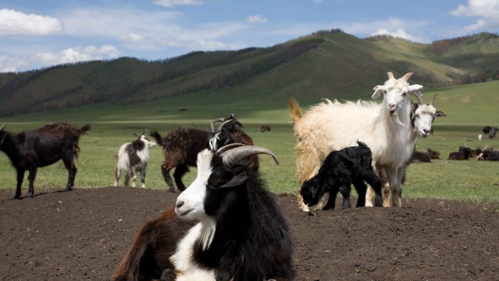 Kaschmir Ziegen Herde